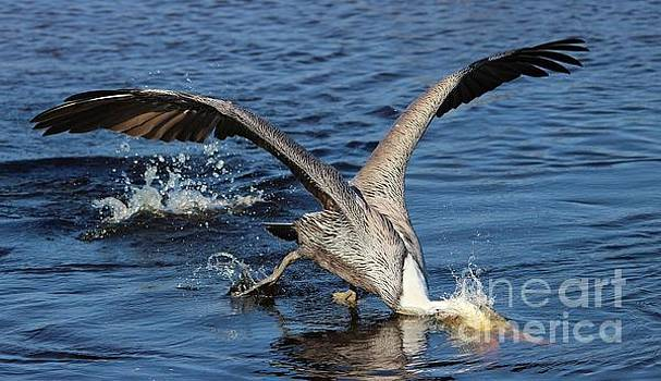 Paulette Thomas - Pelican Diving In For A Fish
