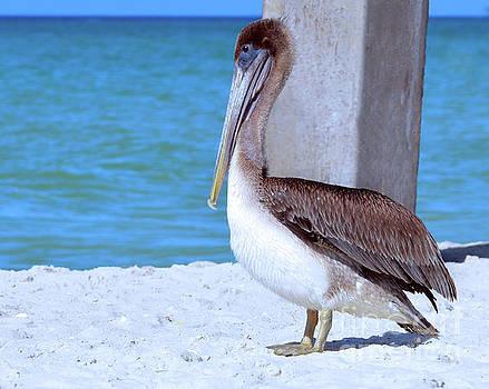 Brown Pelican by Elaine Manley
