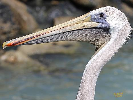 Gary Canant - Pelican Face  that Only a Mother Could Love