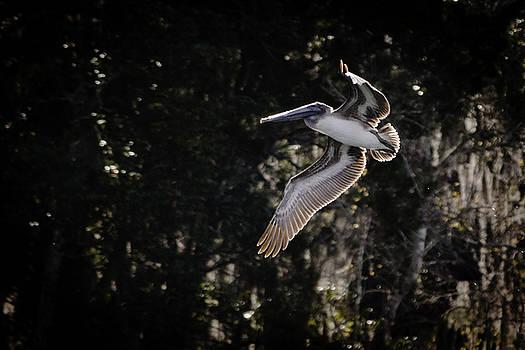 Pelican Flight by Scott Heister