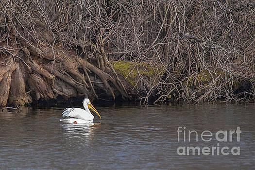 Pelican Floating on a Pond at Dusk by Nikki Vig