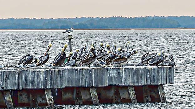 Pelican Gatheirng by William Bosley