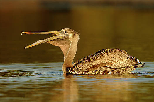 Pelican in early morning light. by George DeCamp
