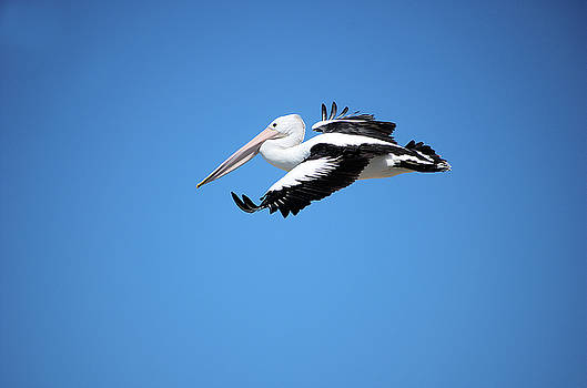 Pelican in flight by Cheryl Hall