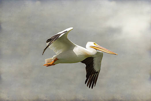 Pelican In Flight by James BO Insogna