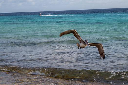 Pelican in flight by Jennifer Ansier