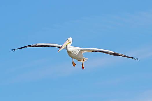 Pelican In Flight by Mark Andrew Thomas