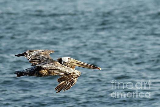 Pelican in Flight by Natural Focal Point Photography