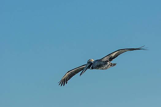 Pelican in Flight by Robert Mitchell