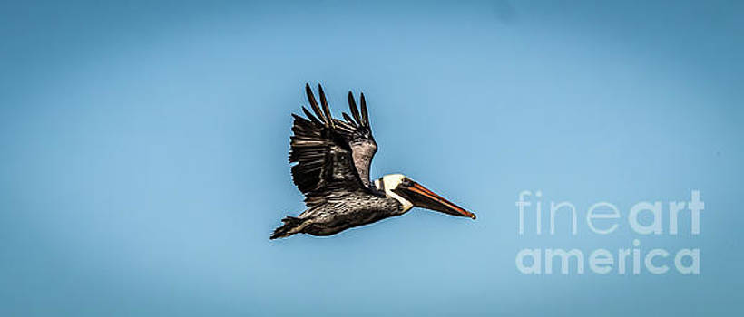 Pelican in Flight by Thomas Marchessault
