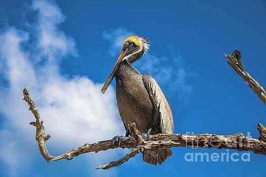 Pelican in Paradise by Mariola Bitner