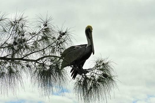 Pelican in Pine by Eagle Finegan