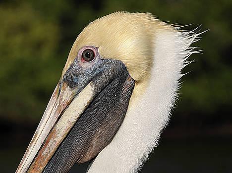 Andrew Wilson - Pelican in Profile