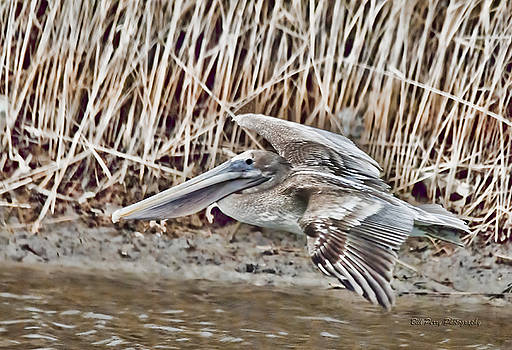Pelican in the marsh by Bill Perry