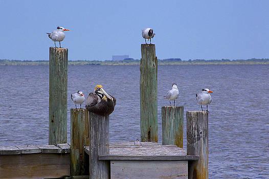 Pelican Incognito by Patrick Anderson