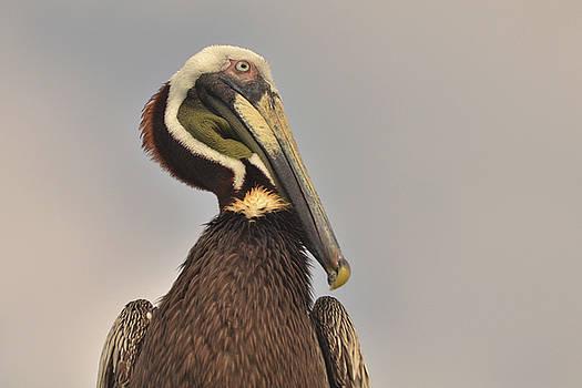 Pelican  by Nancy Landry