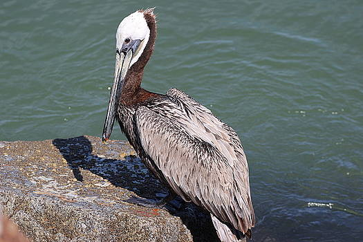 Gary Canant - Pelican on Rock
