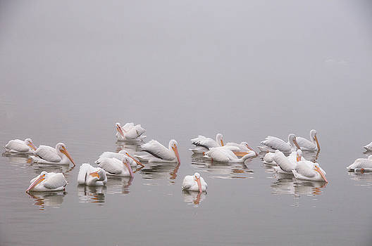 Pelicans on the Lake by Carolyn Dalessandro