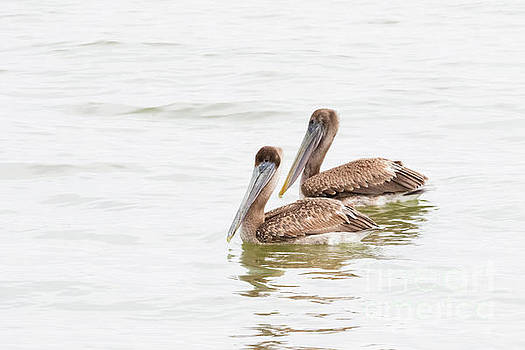 Pelican Pair by Michael McStamp