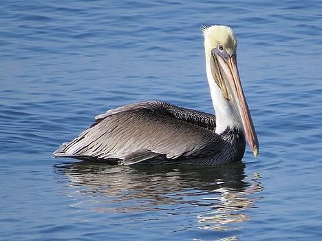 Pelican by Phil Bearce
