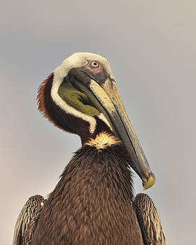 Pelican portrait by Nancy Landry