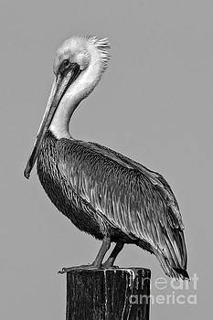 Pelican Pose by Moore Northwest Images
