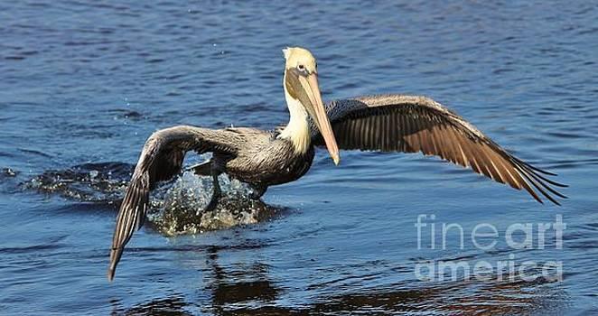 Paulette Thomas - Pelican Skimming The Water
