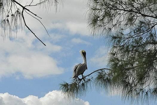 Pelican Sky by Eagle Finegan
