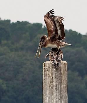 Pelican Soft Landing by William Bosley