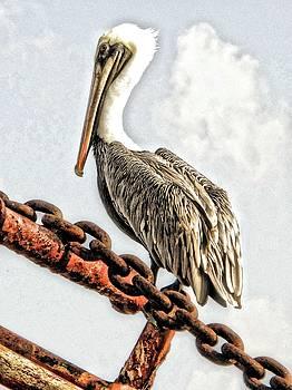 Pelican, St. Croix by Sydney Solis