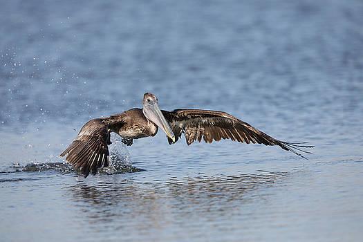 Pelican takeoff by Jack Nevitt