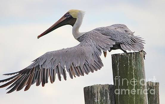 Paulette Thomas - Pelican Taking Off A Post