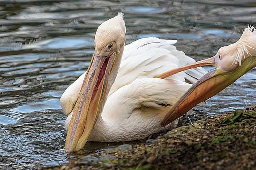 Pelican Tickle by Matt Malloy