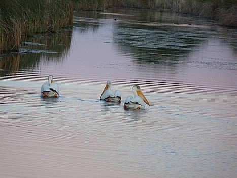 Pelican Trio by Chad Hinckley
