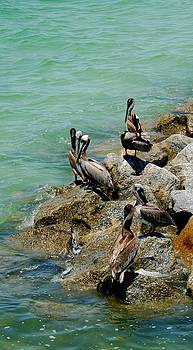 Pelicans at Ft Desoto Tampa by Sheryl Unwin