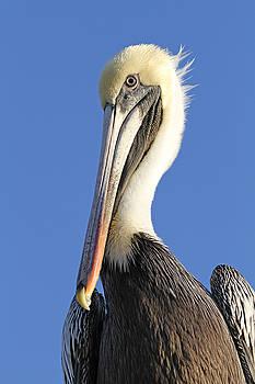 Pelican's Good Side by Jim Clark
