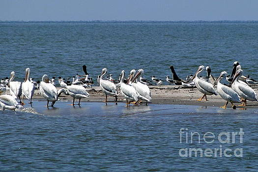 Pelicans Island by Cindy Croal