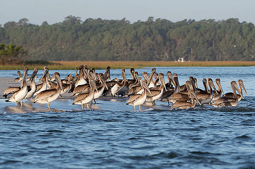 Pelicans, Murrells Inlet SC by George DeCamp