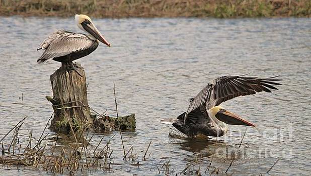 Paulette Thomas - Pelicans Playing