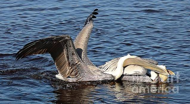 Paulette Thomas - Pelicans Fighting Over Fish