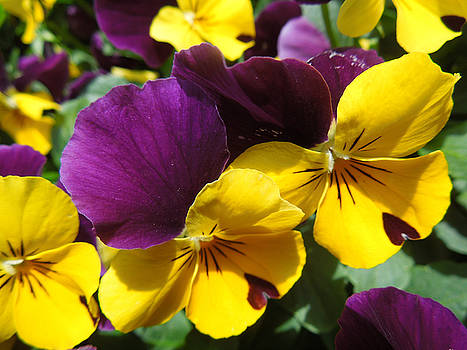 Pella Pansies by Peg Toliver