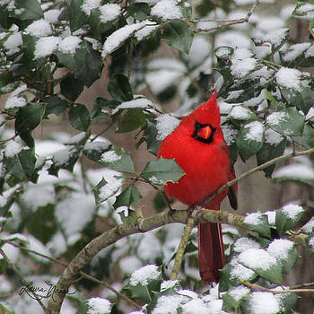 Pensive Cardinal In The Snow by Laura Nance