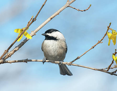 Pensive Chickadee by Lara Ellis