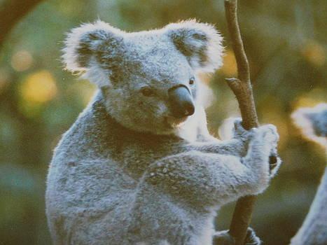 Pensive Koala by Muri McCage