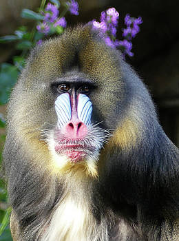 Watchful Male Mandrill by Margaret Saheed
