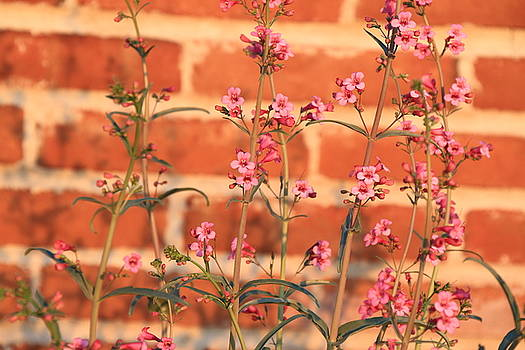 Penstemons on Brick by Judy C Moses