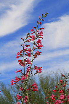 Penstemons Reaching for the Sky by Judy C Moses