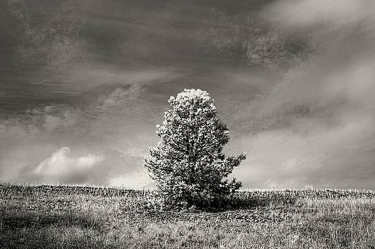 Bill Kellett - Penticton Pine