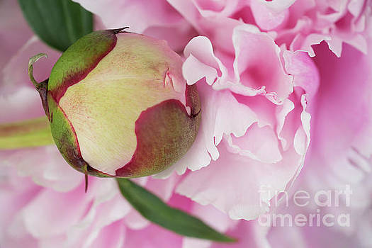 Peonies All In Pink by Ann Garrett