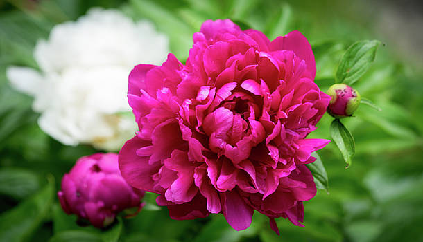 Peonies by Cathy Donohoue